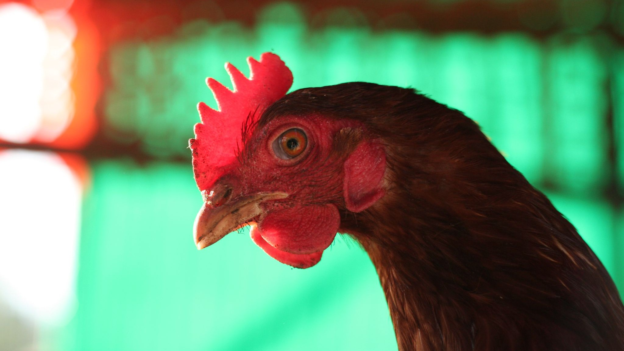 Millions of Chickens Have Bird Flu and Nobody Knows How It's Spreading
