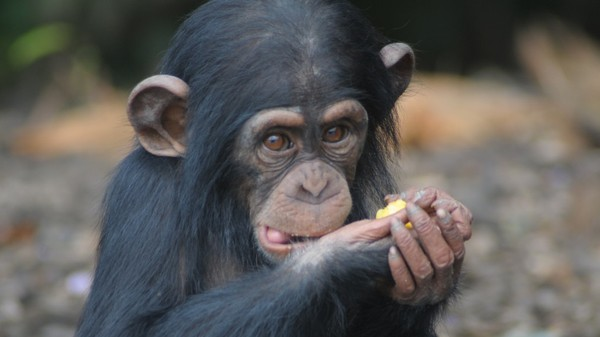 Why Research Chimps Were Abandoned in Liberia, According to Those Who Left Them