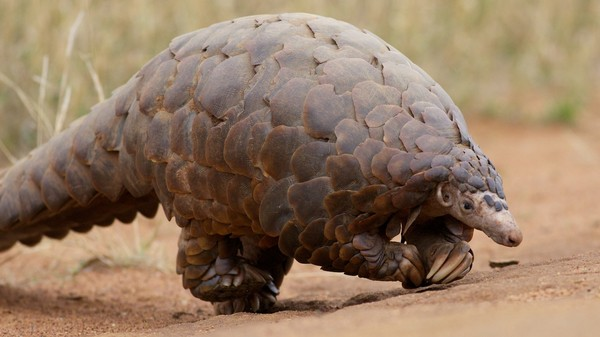 Pangolins, the World's Most-Trafficked Mammal, Are Now One of the Most Protected