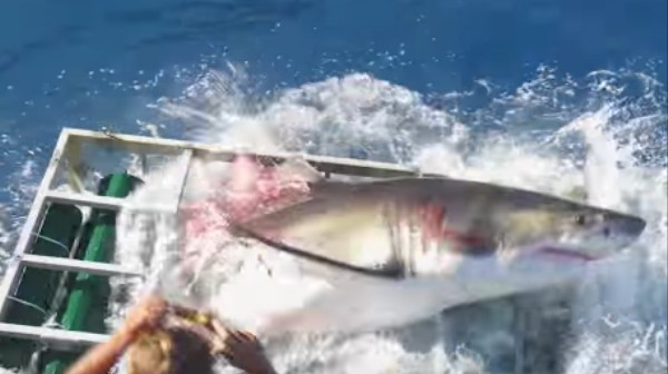 How Did This Great White Shark Get Inside a Sharkproof Cage?