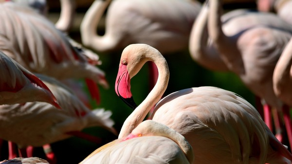 Confused Flamingos Keep Ending Up In Siberia