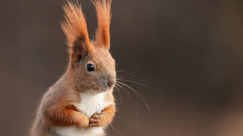 Medieval Leprosy Is Spreading Among UK Red Squirrels