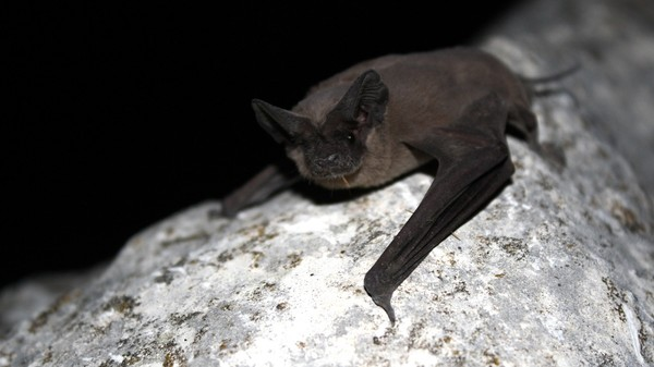 This Bat Is the Fastest Flying Animal in the World
