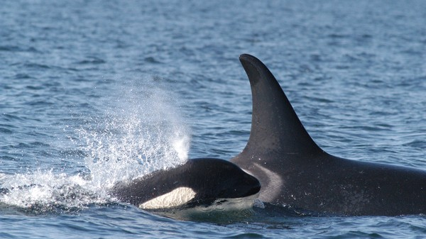 Canada's Latest Pipeline Could Drive Endangered Killer Whales to Extinction
