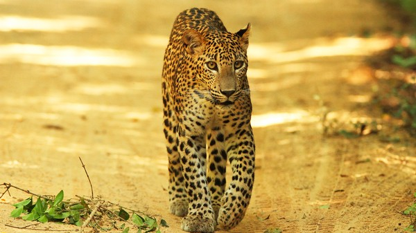 Saving Leopards Is Hard, Especially with All the Landmines