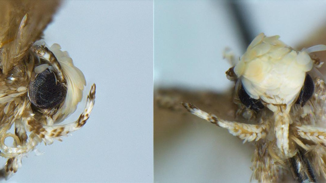 This Moth With a Golden Head Was Named After Trump