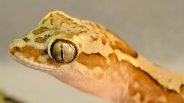 Watch This Gecko's Skin Repel Water Like a Hot Potato
