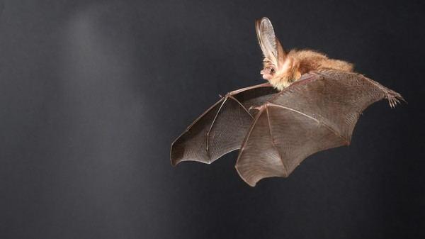 Scientists Zapped Bats With Lasers Inside a Wind Tunnel to Learn How they Fly