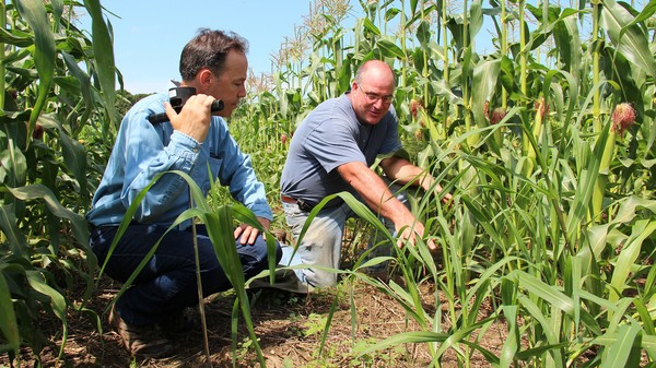 New Stem Cell Discovery Could Boost Corn Crop Yields by an Astounding 50 Percent