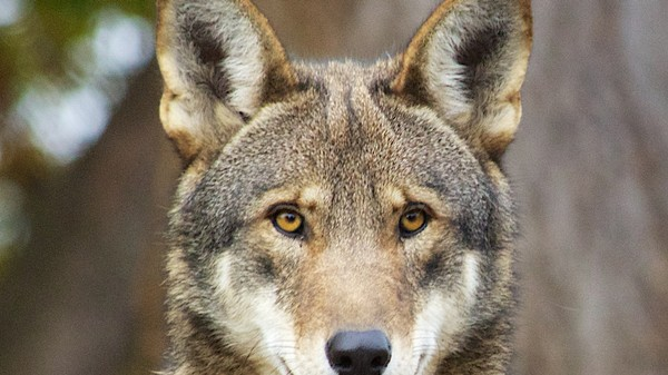 The Red Wolf Is Mostly Coyote