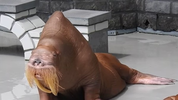 Claims of Walrus Starvation, Kidnapping Revealed at Controversial Marine Park