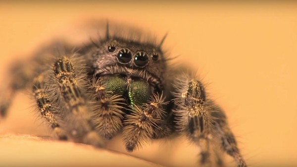 Jumping Spiders Can 'Hear' Using Their Leg Hairs