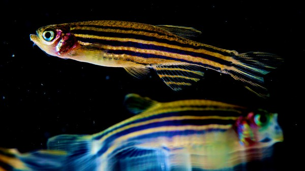 Zebrafish Are Hopelessly Obsessed with Robotic Clones of Themselves
