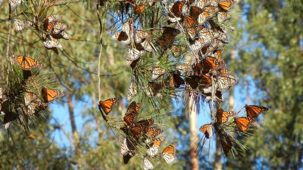 A Primer on the Beautiful Monarch Migration Season