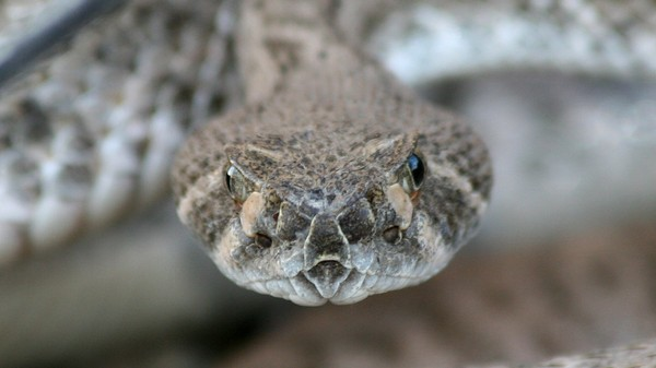 Texans Defend Their Right to Hunt Snakes With Gasoline