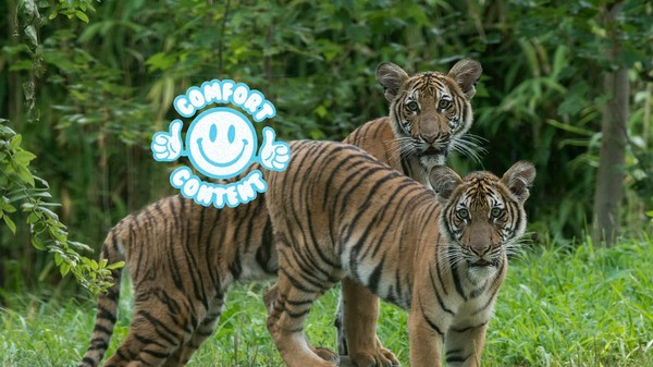 There Are Only 250 Malayan Tigers on Earth, But the Population Just Grew by Two