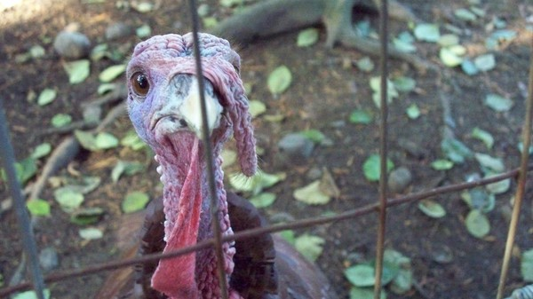 Native Americans Domesticated Turkeys Hundreds of Years Before Thanksgiving