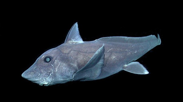 Watch Rare Footage of the Bizarre 'Ghost Shark' in the Wild