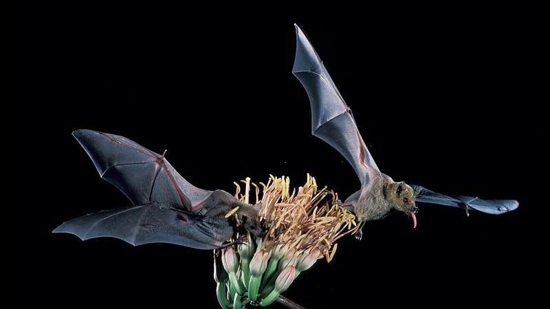 How Tequila Helped Save This Endangered Bat