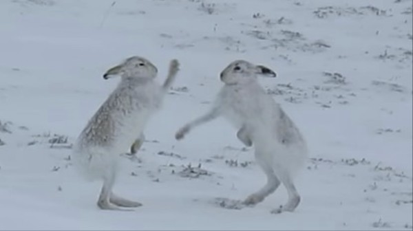 Watch Boxing Hares Battle In A Mating Ritual