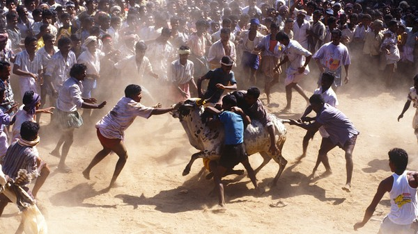 Why a Ban on Bull Riding Sparked Huge Protests in India