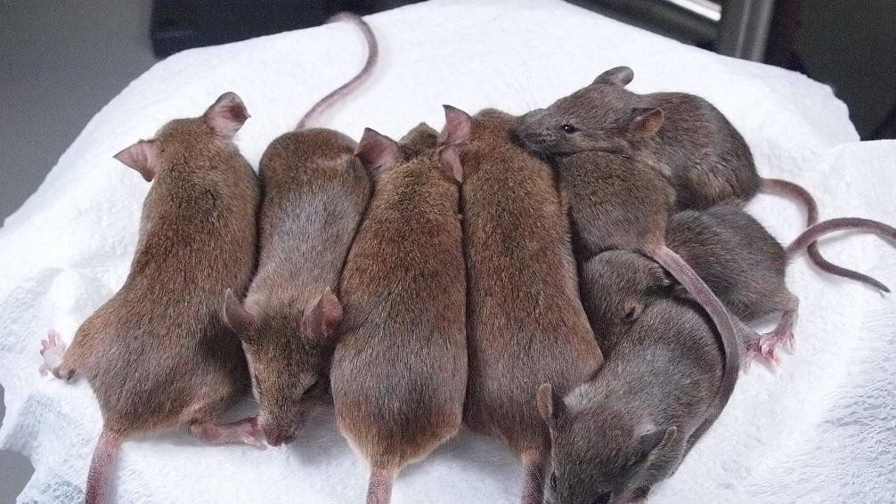 Scientists Have Perfected Mouse Re-Cloning to the 25th Generation