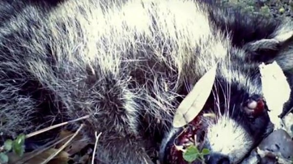 Watch Nature Reclaim a Roadkilled Racoon in Time-Lapse