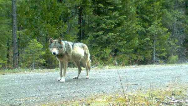 America's Most Famous Gray Wolf May Be a Dad