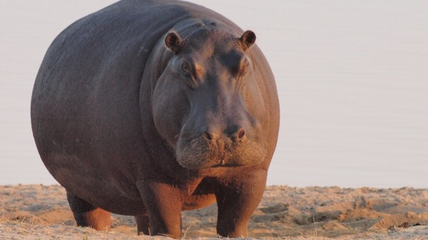 Here Come the Autonomous Hippo Poop Drones