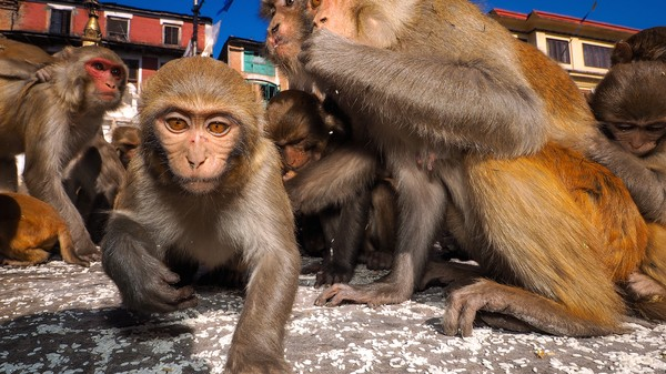 Gambling Monkeys Share Humans' Bias for the 'Hot Hand'