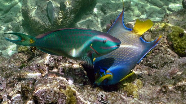 This Fish Could Save the Caribbean Coral Reefs