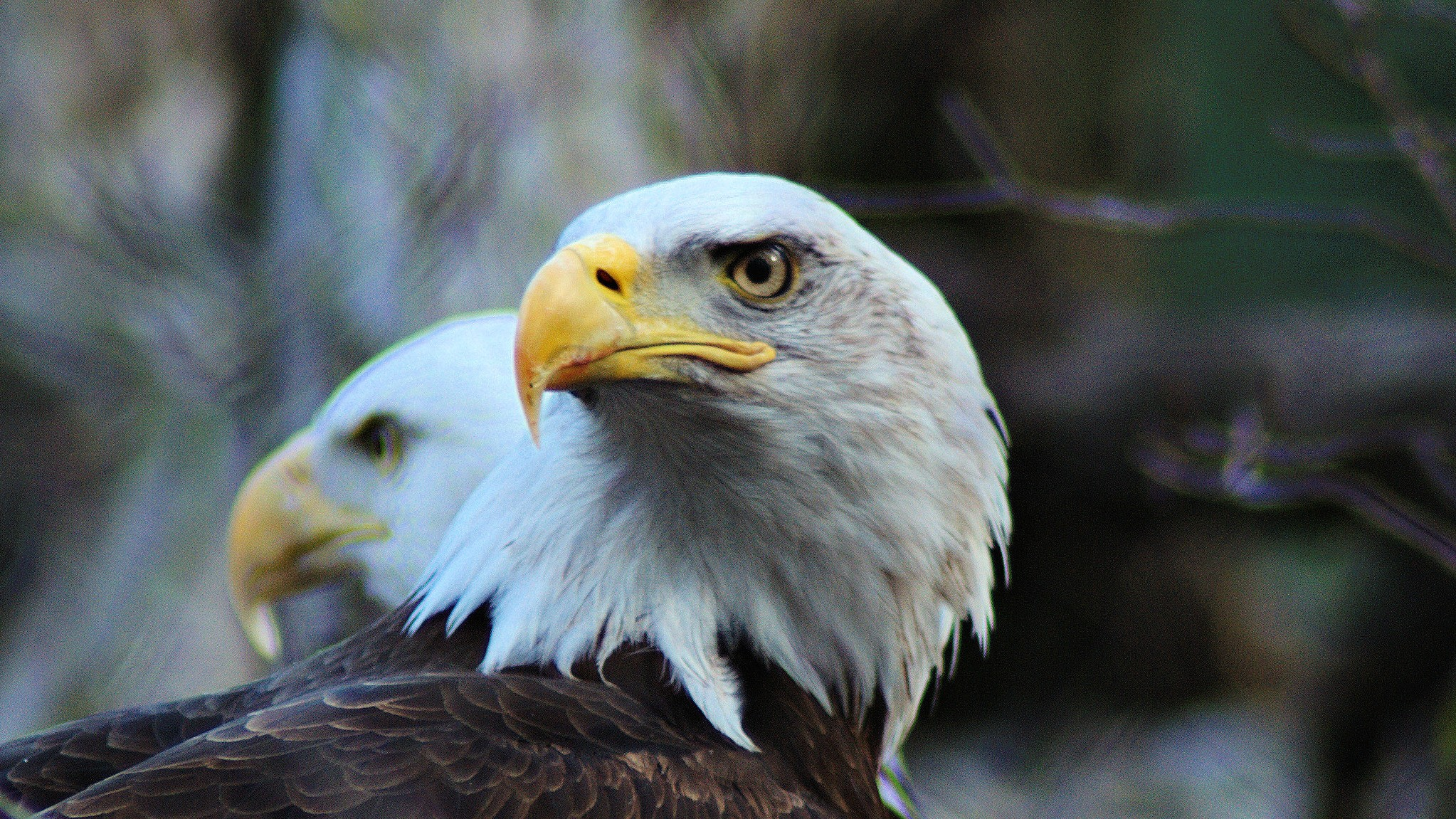 How Are the United States' Bald Eagles Doing? Pretty Darn Well