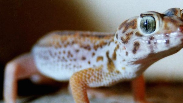 What Will Happen to the Mating Geckos Lost in Space?