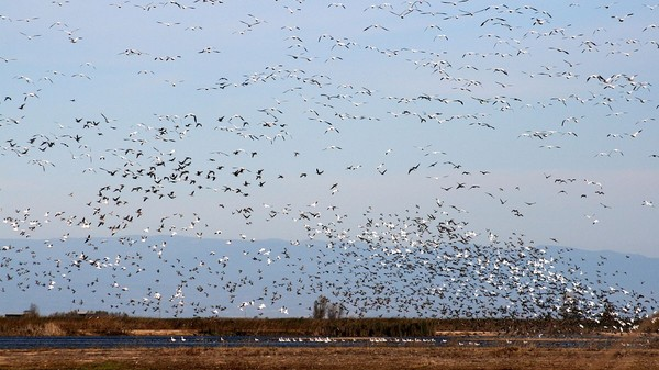 California Farmers Will Flood Their Own Fields to Prevent a Birdpocalypse