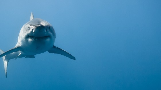 Sharks Are Accidentally Good at Math