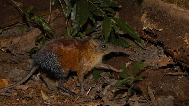 The Giant Elephant Shrew and 26 Other New Vertebrates Found in Tanzania