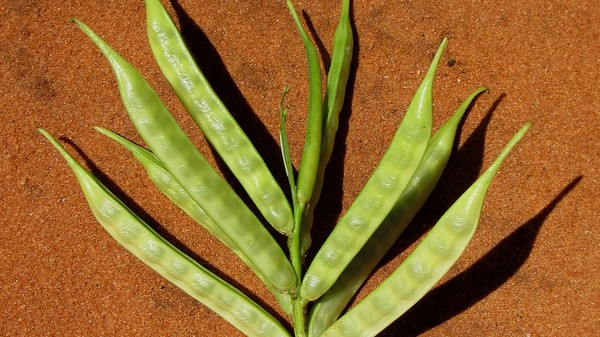 Meet Guar, the Tiny Green Bean That Makes Fracking Possible