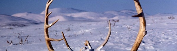 Canada's Caribou Are Disappearing Fast