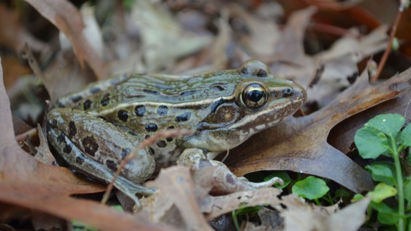 Finding a New Species of Frog in New York Is Really Hard