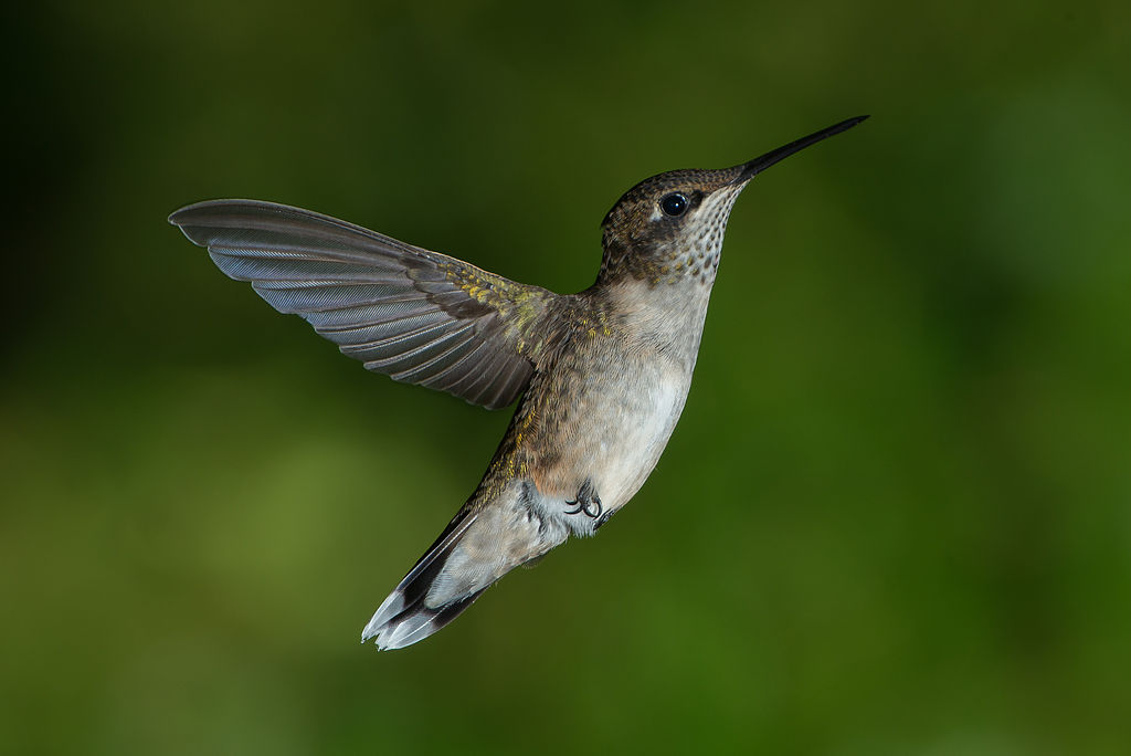 The insect type flight strokes of a hummingbird
