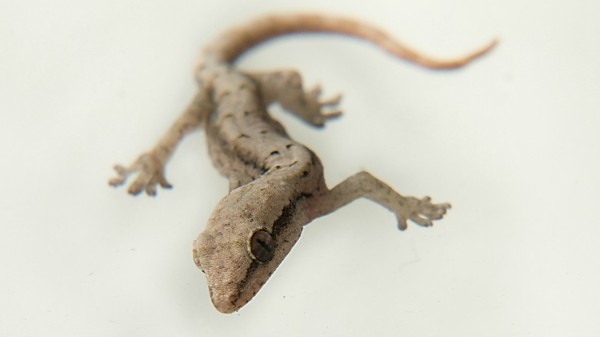 Scientists Dragged Dead Geckos Along A Surface To See If They Still Stuck