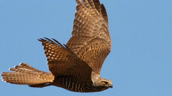 The Military Is Studying Hawks So It Can Build Drones that Fly 45 MPH Indoors
