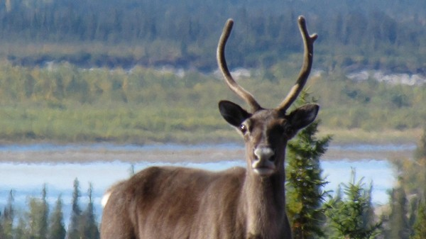 If We Really Want to Save Caribou, We'd Stop Fracking, Not Kill Wolves