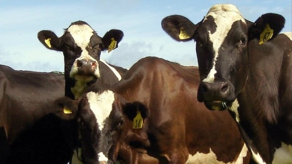 Robots Are Milking Cows for Dairy, Data