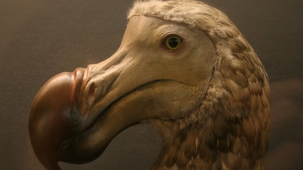 The Dodo Didn't Look Like You Think It Does