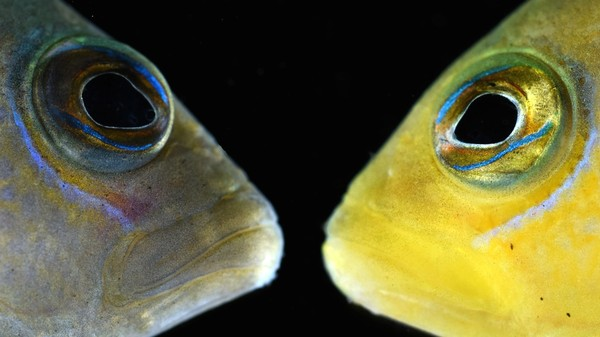 Scumbag Fish Changes Color to Trick Baby Fish so It Can Eat Them