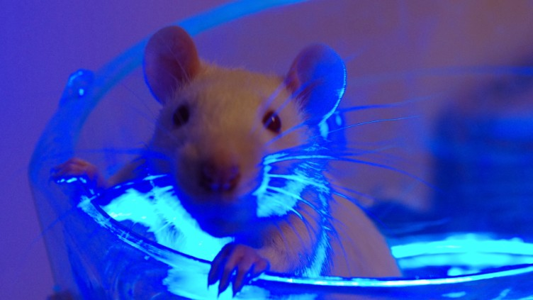 These Rats Get Instant Erections When Bathed in Blue Light