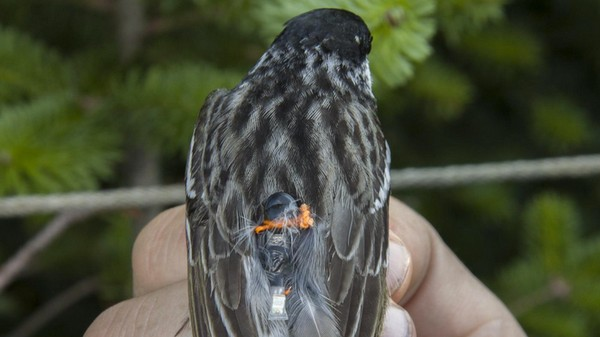 Tiny Backpacks Strapped to Songbirds Show They Fly 1,600 Miles Without Stopping