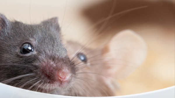 Mice Speak a Surprisingly Sophisticated Language of Love