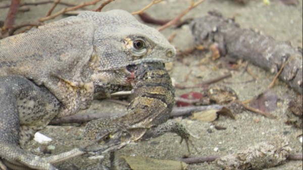In a Drought, Water-Starved Iguanas Will Eat Each Other to Survive